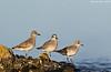 Trio of Golden Plovers