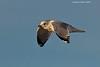 Mew Gull in flight.