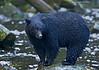 Black Bear .Tofino Vancouver Island.