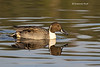 Northern Pintail reflection