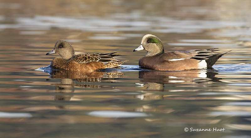 North American Wigeon. Drake and Hen.