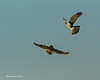 Arial fight Northern Harrier with Short-eared Owl