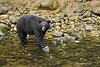 Black Bear fishing for salmon.