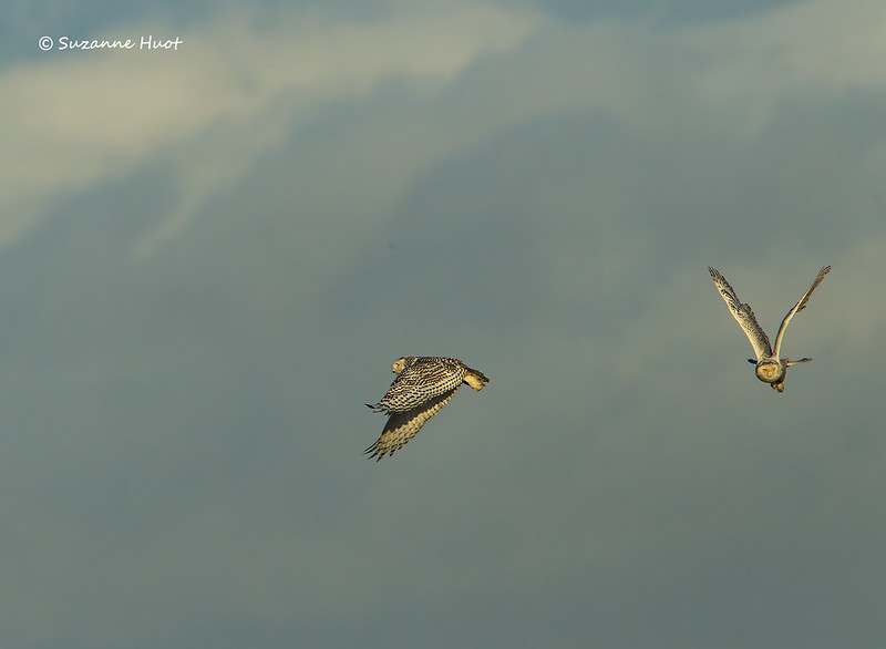 Aerial wars from a couple of Snowy Owls