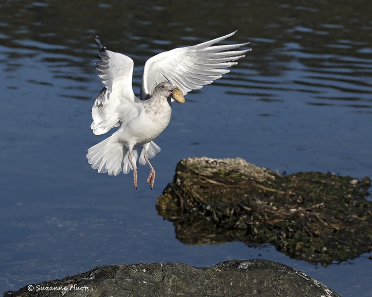 Gull with Clam