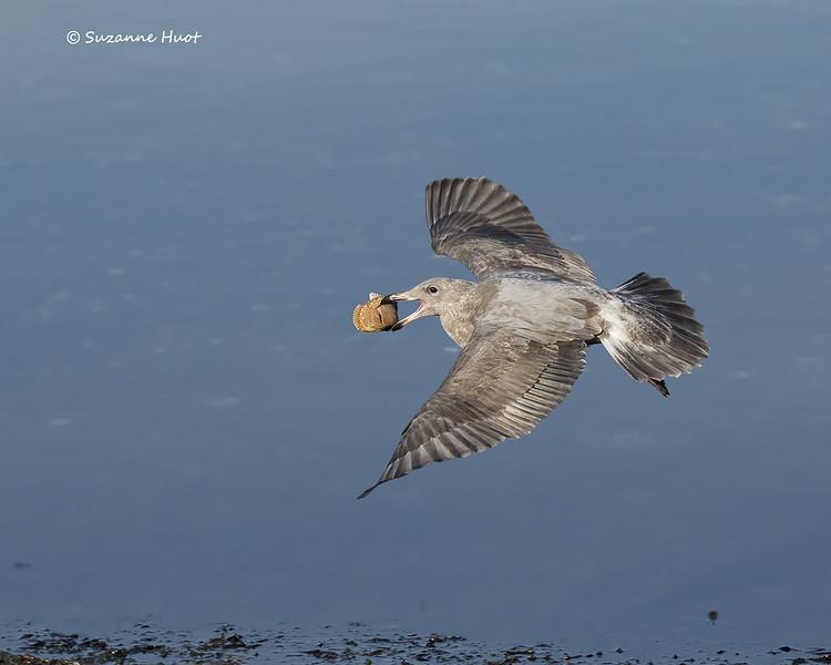 California Gull . juvenile.