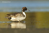 Northern Pintail duck .m