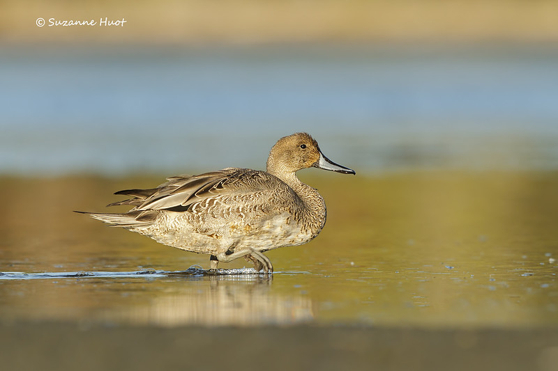 Northern Pintail, f.