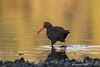 Black Oystercatcher in golden light