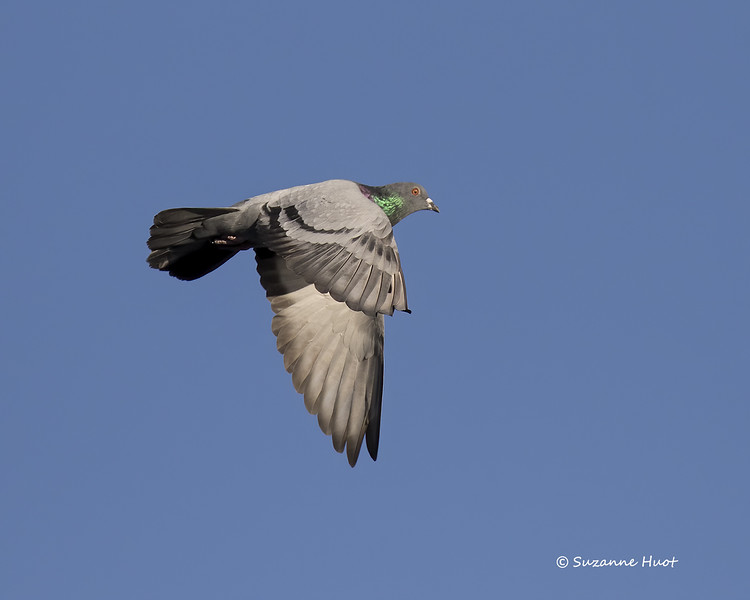 Rock dove .also known as Common pigeon