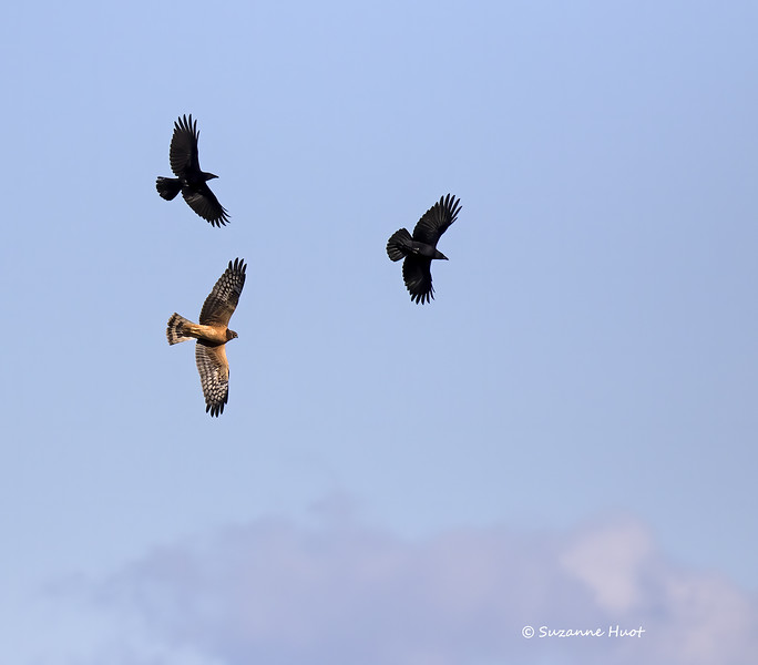 Northern harrier avoiding North west crows it was being hassled by