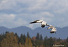Snow Geese coming in to land