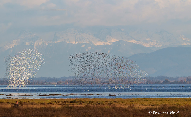 A murmuration of shorebirds being disturbed by a passing Eagle