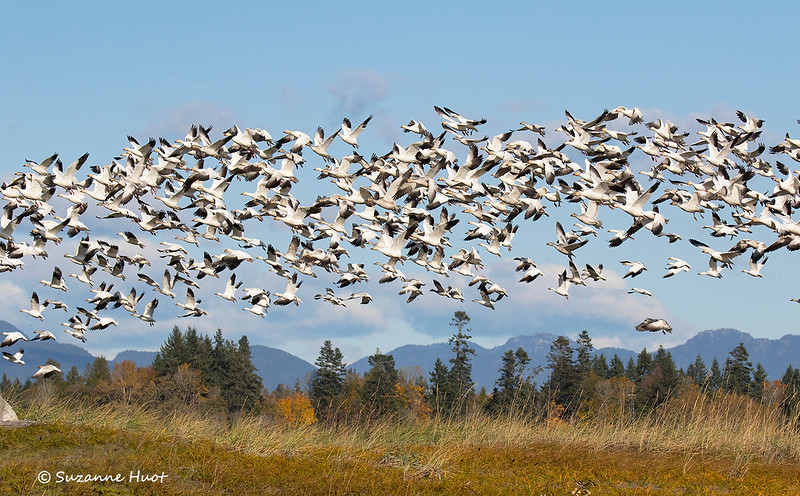 Flock of snow geese  with Vancouver backdrop