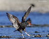 Black Oystercatcher  adult