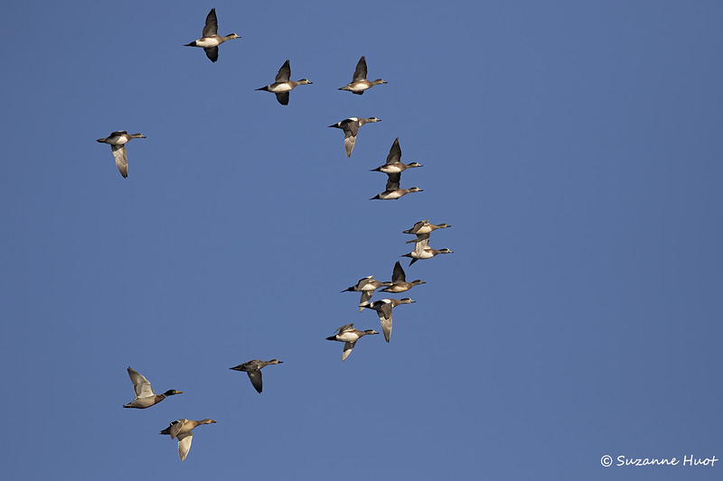 North american wigeon flock plus mallards