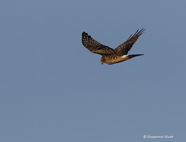 Northern harrier . f