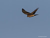 Northern harrier . f