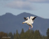 Snowgoose on final