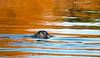 Harbor seal in the lagoon