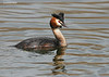 Great Crested Grebe,Photographed in the U.K .Found  across Europe and India.