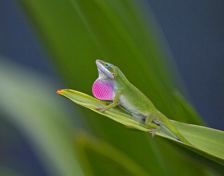 Green Anole displaying.Photographed on the Big Island Hawaii