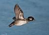 Female Bufflehead in flight.