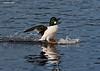 Water skiing male Goldeneye.  .