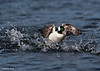 Bufflehead aggression,male in combat mode.