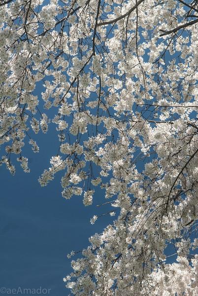 Cherry Blossom-aeamador-0222