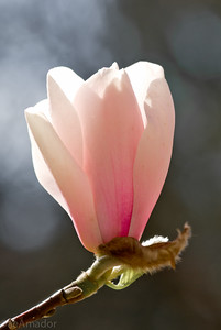 Magnolia-aeamador-0002