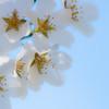 Cherry Blossom-aeamador-0201