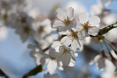 Cherry Blossom-aeamador-0163