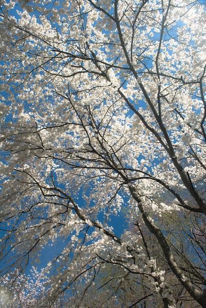 Cherry Blossom-aeamador-0221