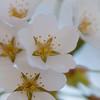 Cherry Blossom-aeamador-0187