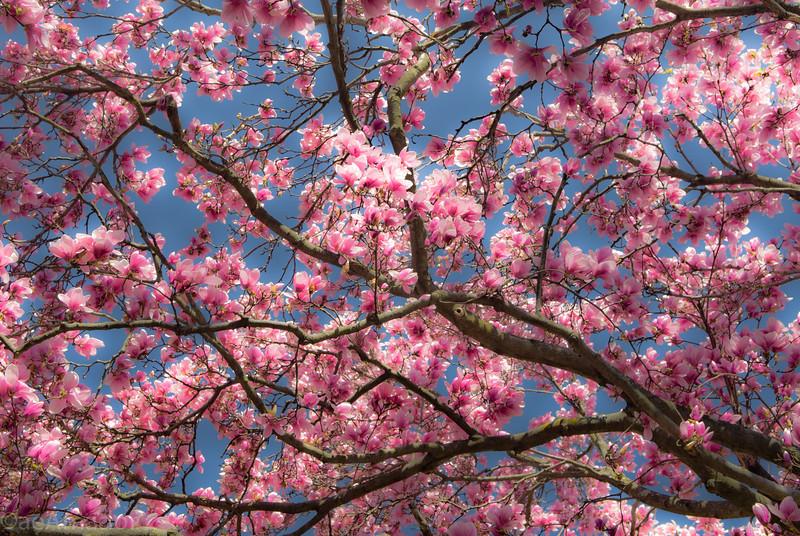 Magnolia-aeamador-0137
