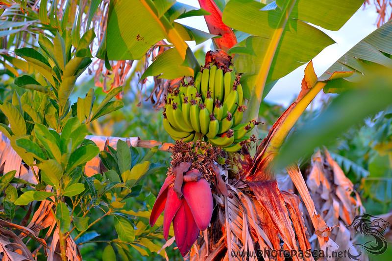 Bananier avec Bananes et Fleur de banane
