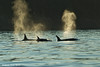 Trio of Transient Orca's ,with small calf in the center,.