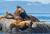 Steller's Sealion Male with much smaller females,Males way in at around 2000lbs,.