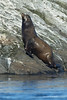 California Sealion hauling out of the water to search  out  a spot to dry off on.