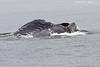 Humpback Whale feeding.