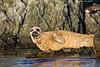 Harbor Seal retreat.
