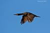 Pelagic Cormorant in flight.