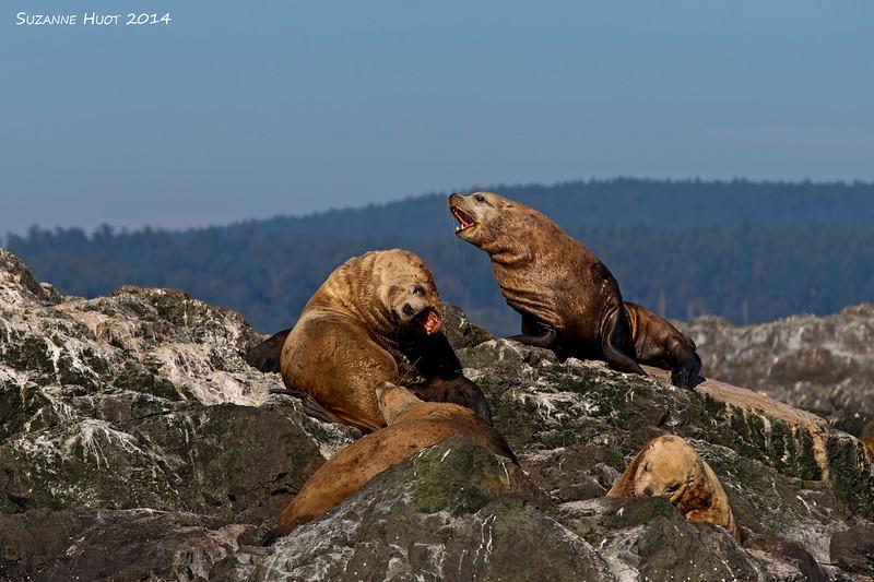 Steller's Sea Lions.
