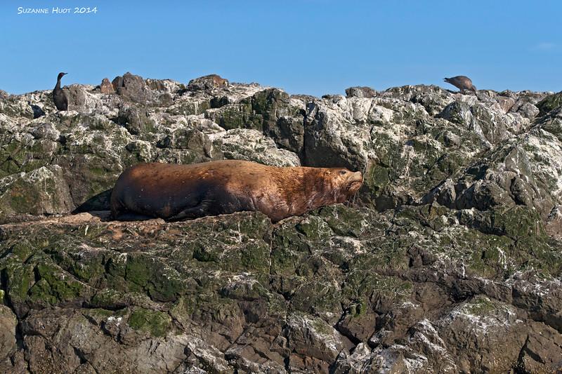 Steller's Sea lion at rest
