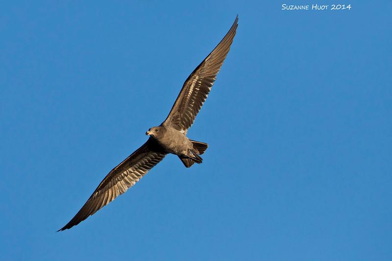Juvenile Heerman's Gull .