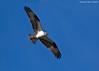 Osprey   in flight. Male.