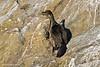 Pelagic Cormorant juvenile.