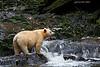 Spirit Bear  waiting for the Salmon .