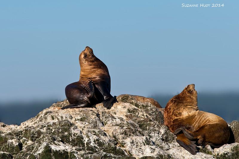 Steller's Sea Lions enjoying the late September Sun